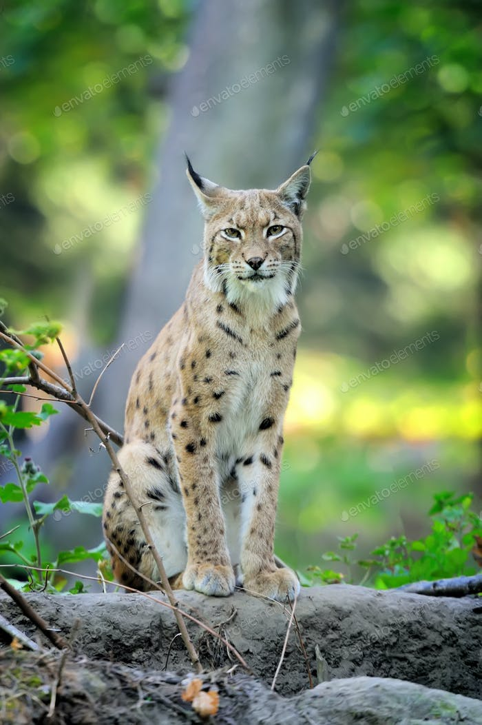 Young Lynx in spring time