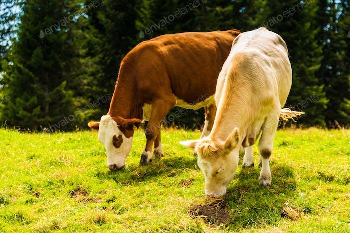 Herd of cows grazing on meadow. Photo taken in Graz, Austria Shockl mountain