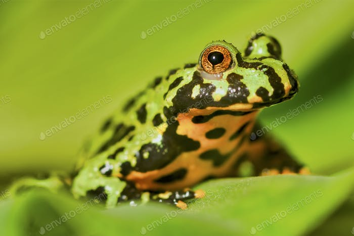 Frog Oriental fire-bellied toad (Bombina orientalis) sitting on green leaf