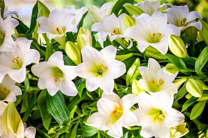 Blumenstrauß aus weißen Lilien. Schöne weiße Lilien