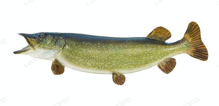 Northern Pike Isolated on White Background