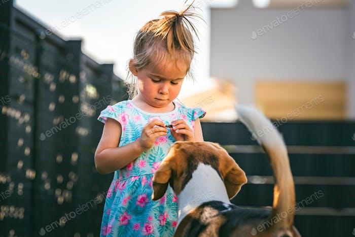 Baby girl running with beagle dog in backyard in summer day. Domestic animal with children concept