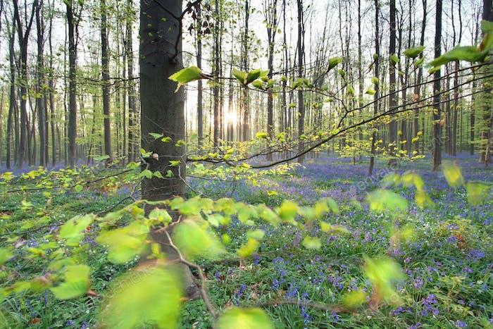 sunshine in spring flowering forest
