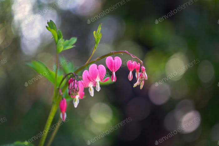 Flower of asian bleeding heart