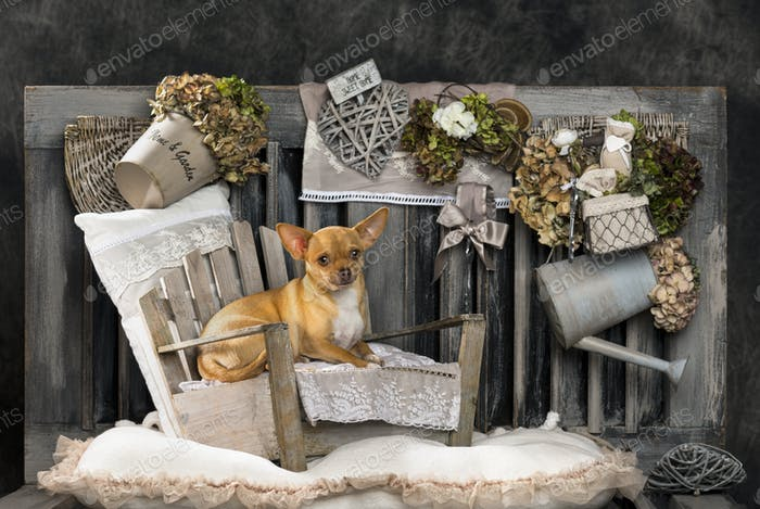 Chihuahua in front of a rustic background