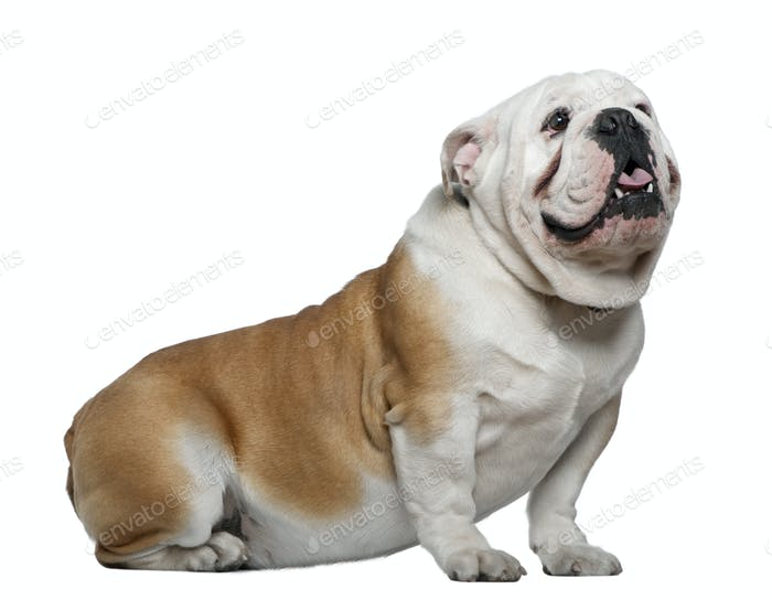 English Bulldog, 1 year old, sitting in front of white background