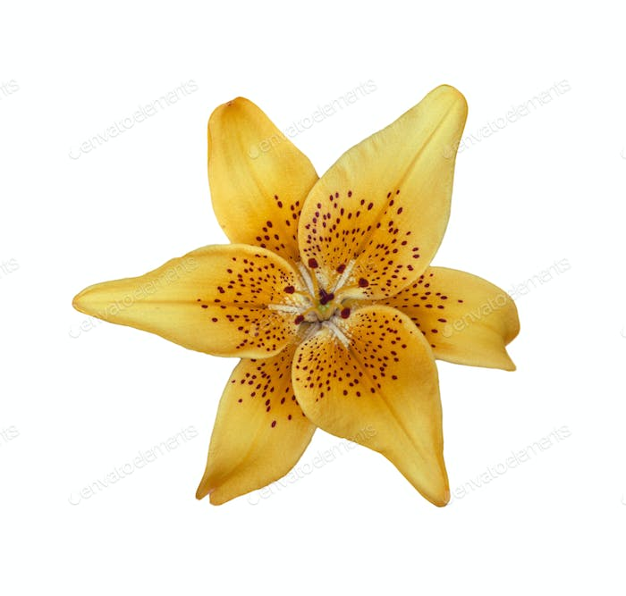 Yellow lilly flower isolated on white