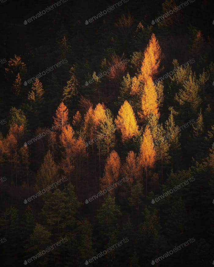 Golden larches in autumn forest at sunrise