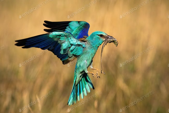 Colorful european roller hovering in flight in spring