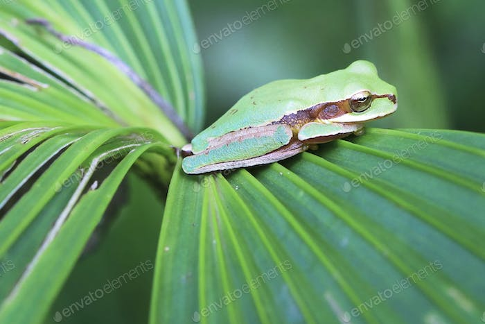 Masked Treefrog on a Leaf in Costa Rica
