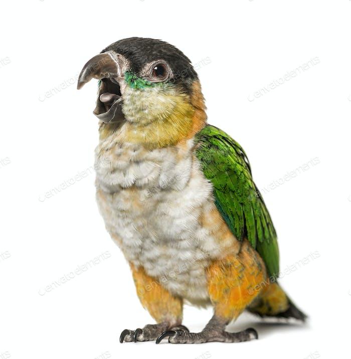 Black-capped parrot opening beak, isolated on white