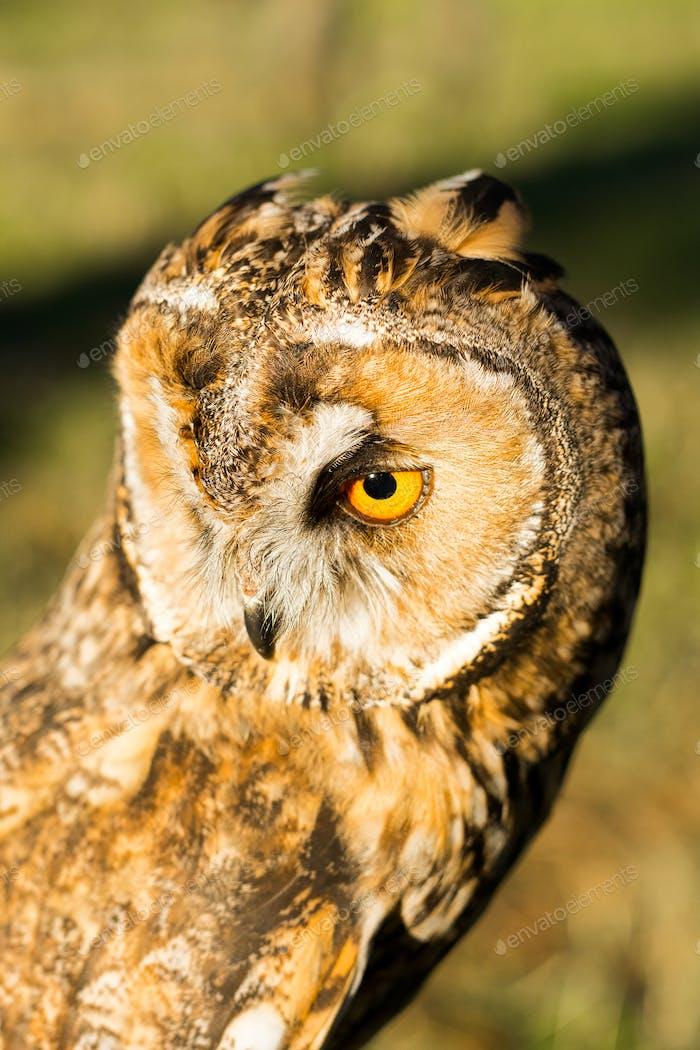 Porträt von Adler Eule (Bubo bubo)