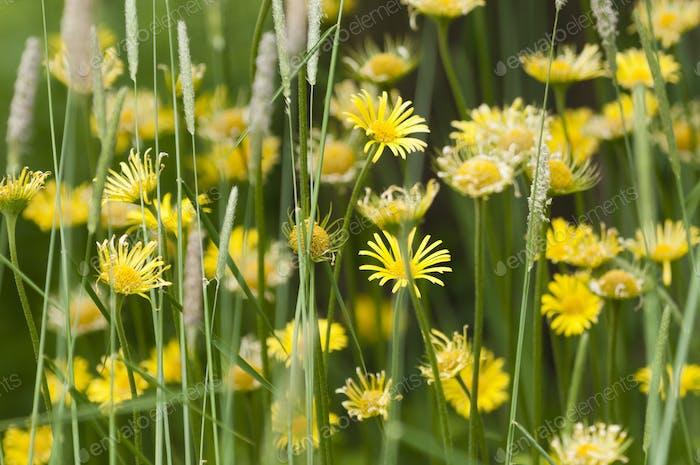 Yellow daisy group