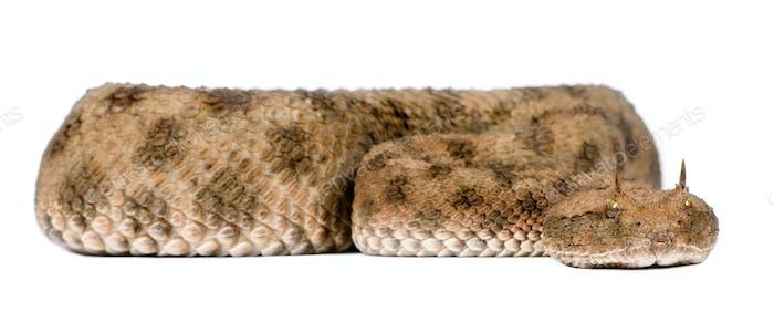 Saharan horned viper - Cerastes cerastes