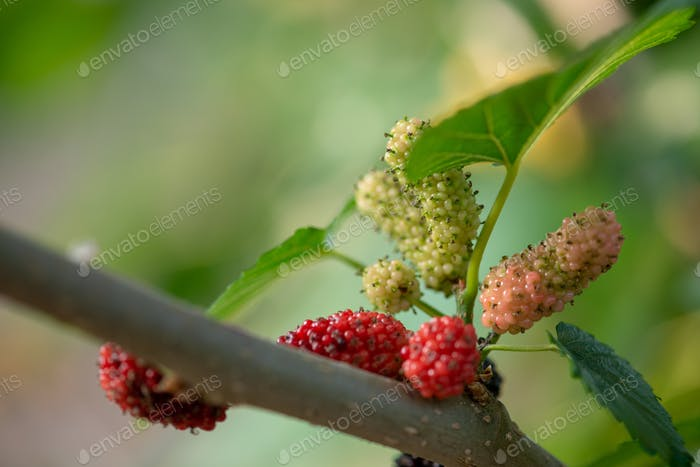 Growing mulberries