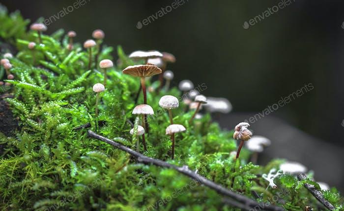 Pinwheel Mushrooms Growing from Moss in Tasmania
