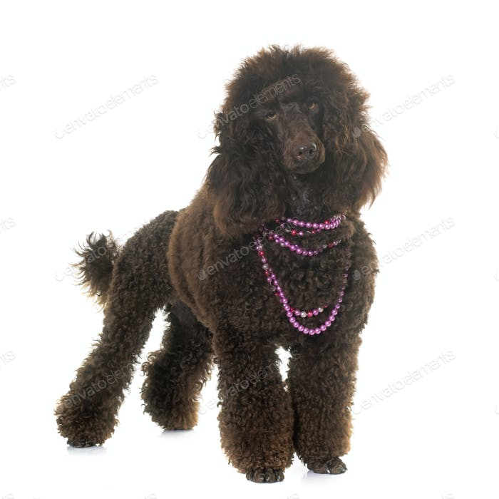 poodle in studio
