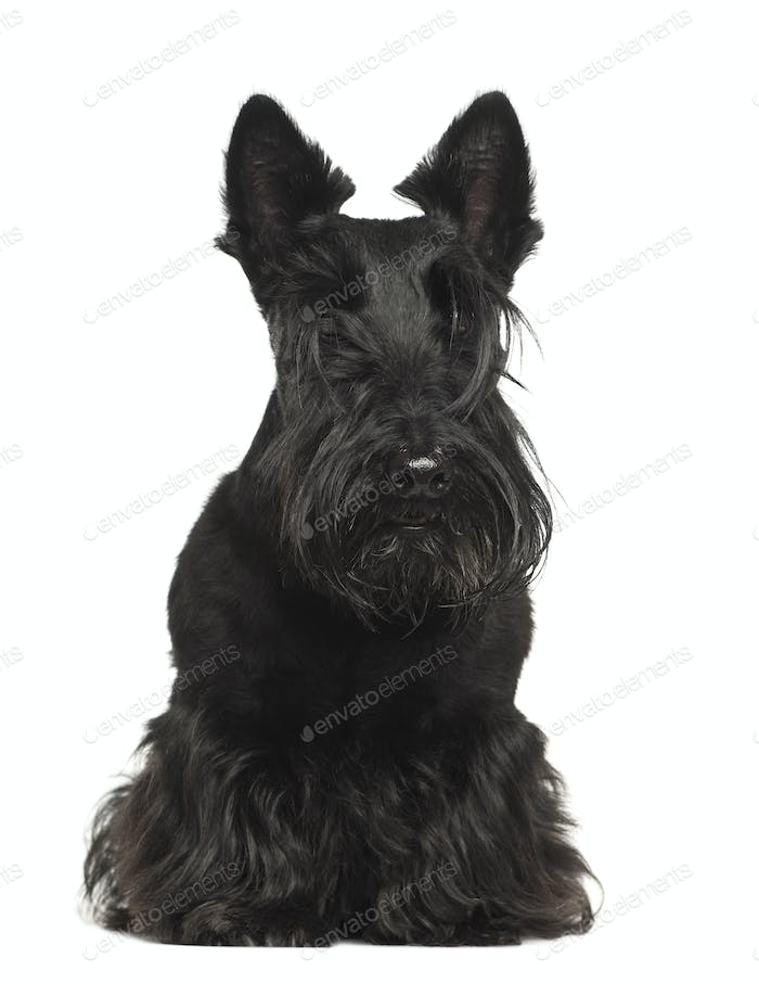 West Highland White Terrier, 4 years old, sitting against white background