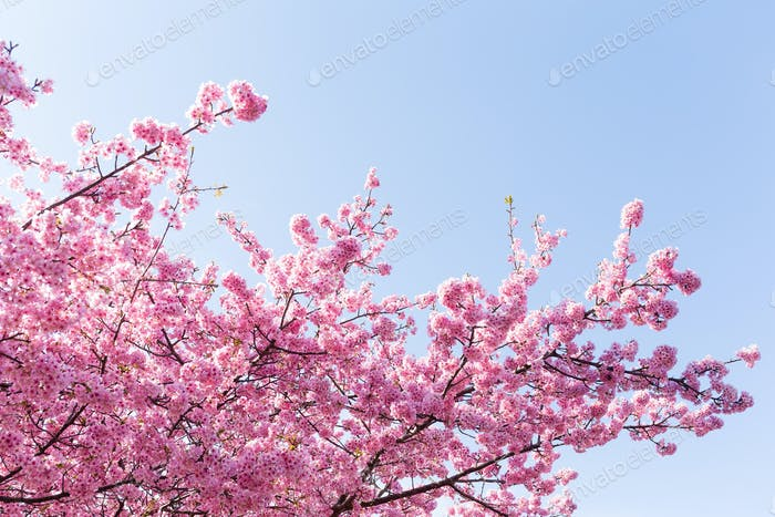 Sakura Baum mit blauem Himmel