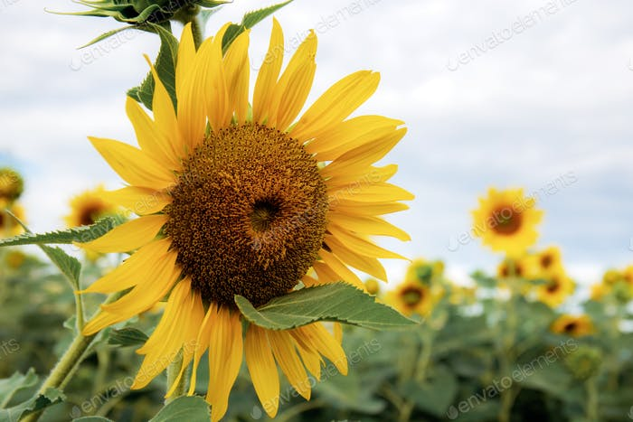 Sunflower with beautiful