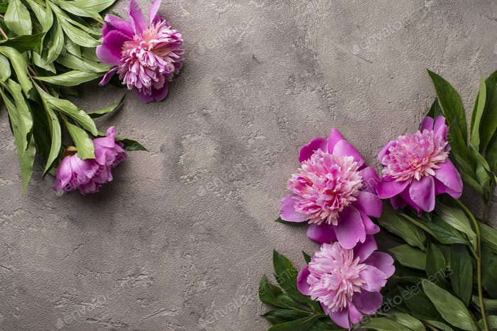 Pink peony flowers on light  background.