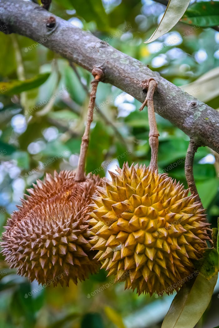 Durian friut growing on a tree