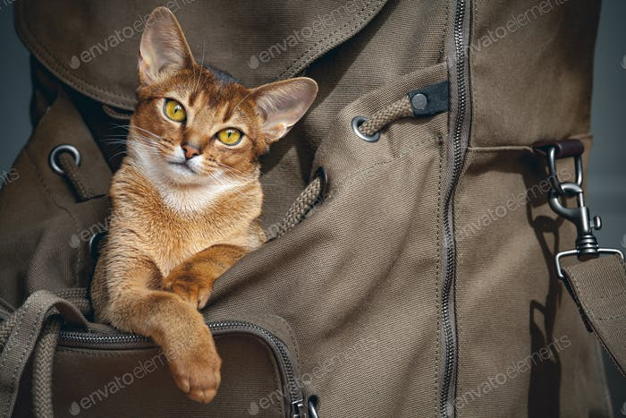 Brown cat sitting in the backpacker