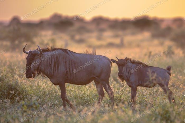 Savanna Orange morning light with two wildebeest on S100 Kruger