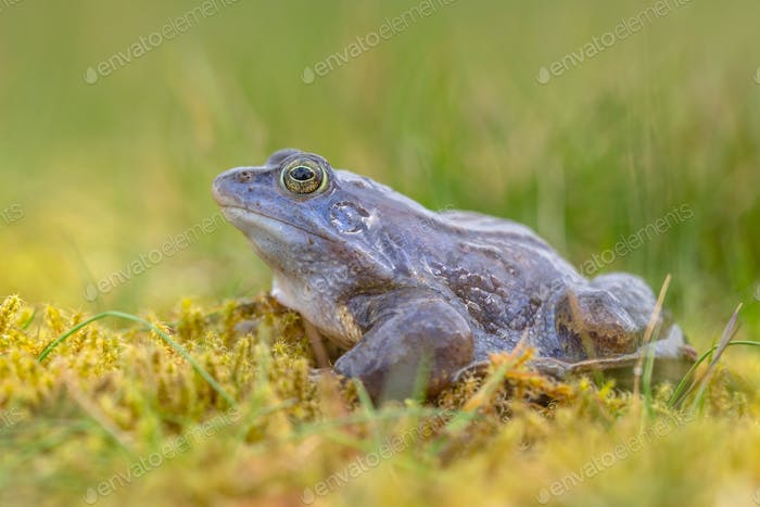side view of Blue Moor frog