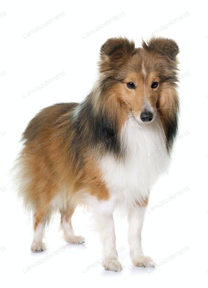 Thumbnail for young shetland dog