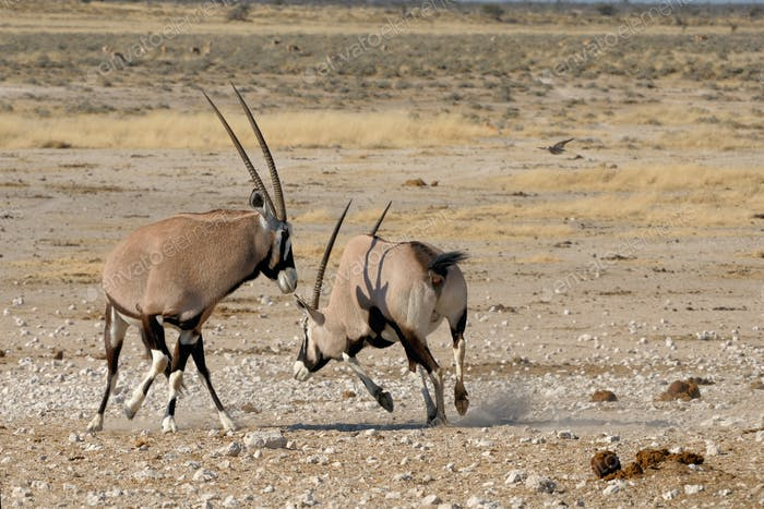 Oryx (Gemsbok) fighting