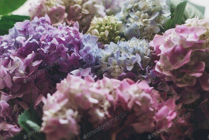 Beautiful hydrangea flowers in sunlight