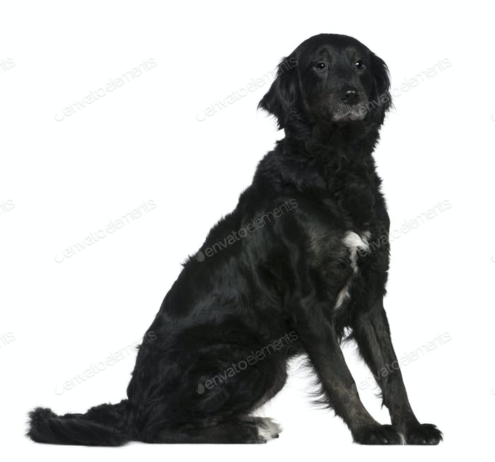 Labrador mixed with a Bernese mountain dog, 6 years old, sitting in front of white background