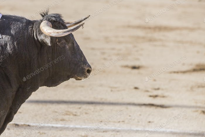 Capture of the figure of a brave bull of hair black color in a bullfight, Spain