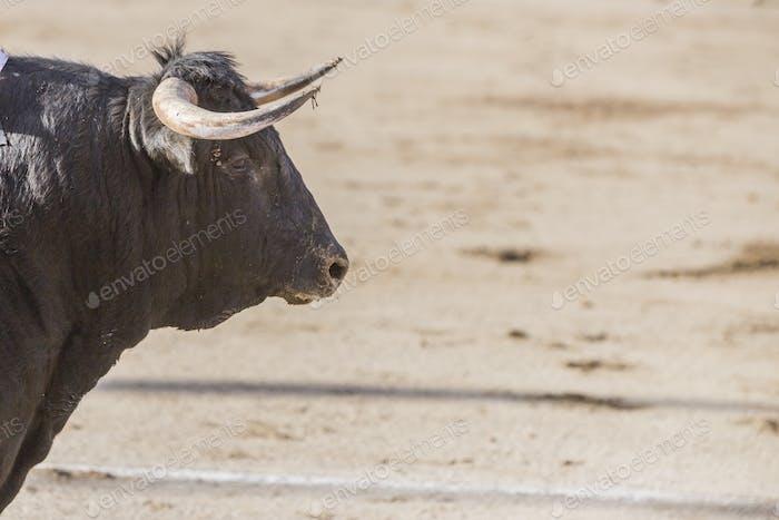 Erfassung der Figur eines tapferen Haarbullen schwarze Farbe in einem Stierkampf, Spanien