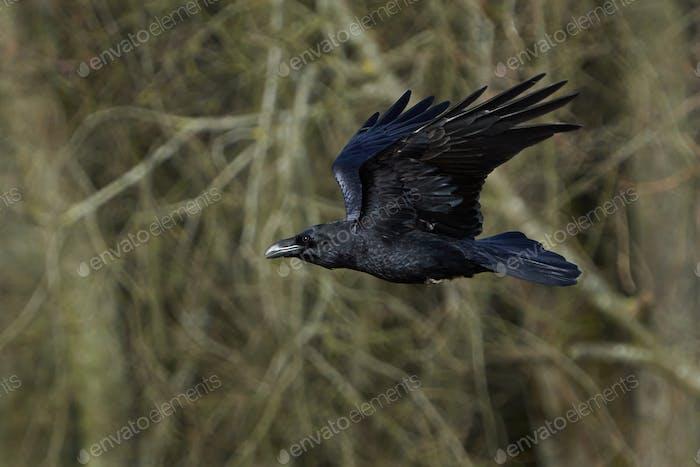Common raven (Corvus corax) in its natural habitat in Denmark