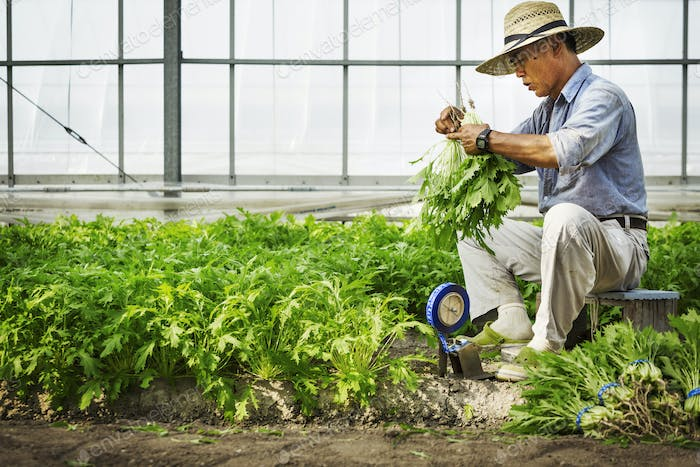 A man working in a greenhouse harvesting a commercial crop, the mizuna vegetable plant.