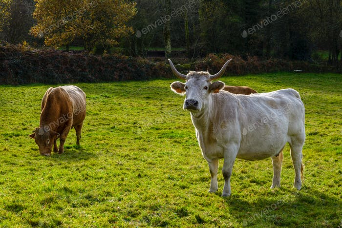 White cow and brown bull