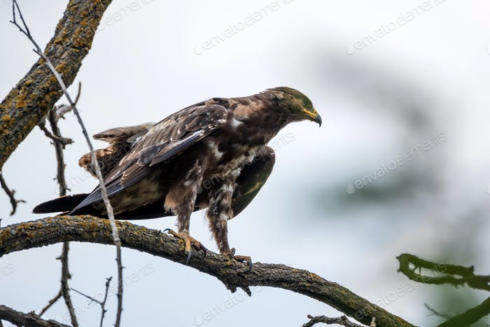 Greater spotted eagle or Clanga clanga