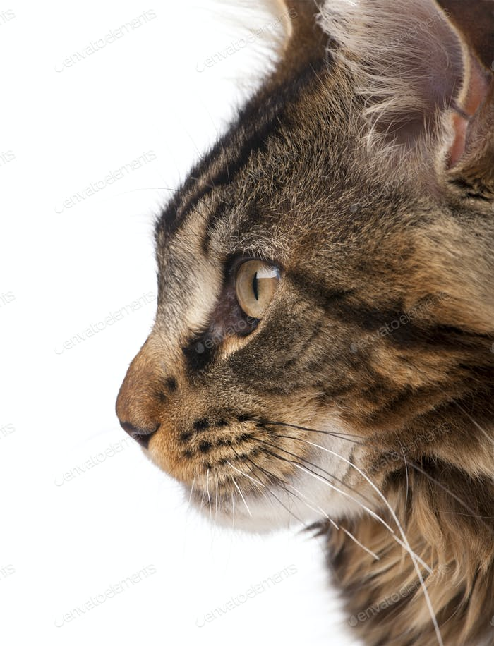 Side view of Maine Coon, 7 months old, in front of white background