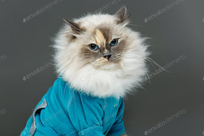 beautiful birma cat in blue shirt