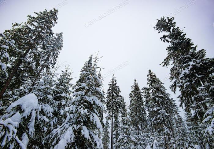 Fir trees with snow-covered branches