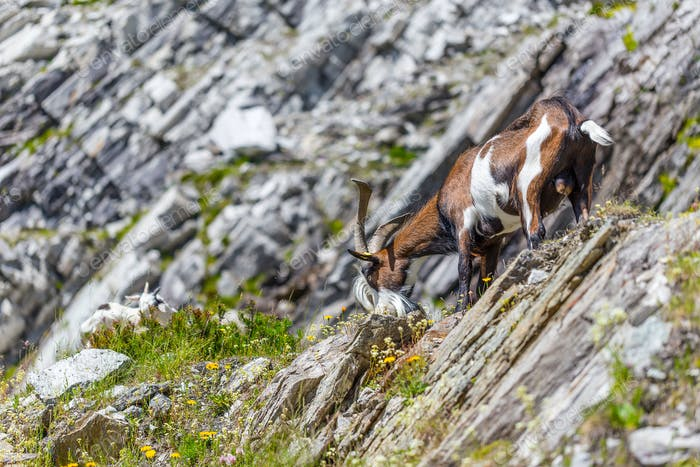 Goat in alps