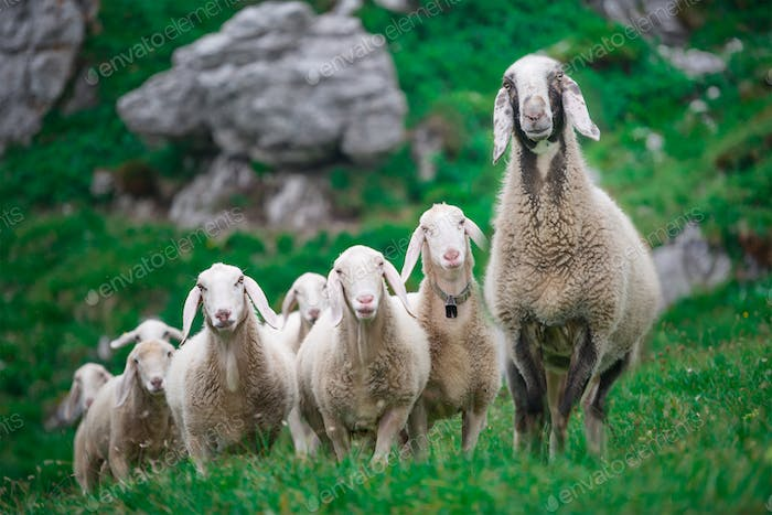 Mother sheep with the group