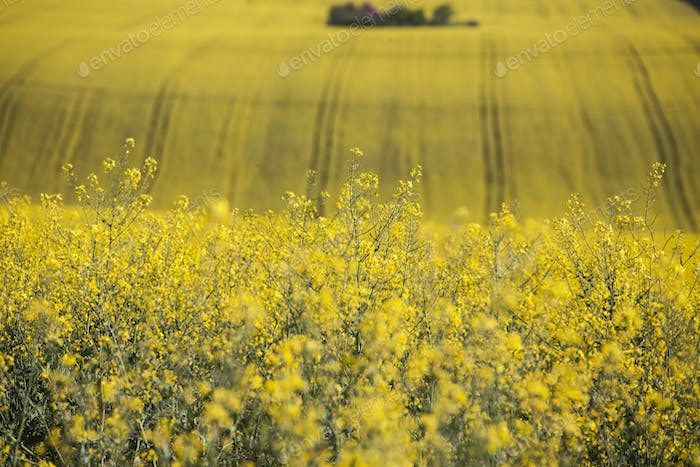 Close up on rape field