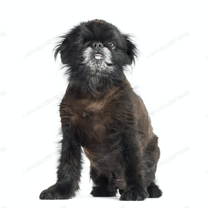 Shih Tzu sitting, 2 years old, isolated on white