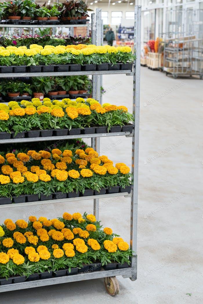 Blühende Ringelblume im Topf, die in Plastiktöpfen zum Verkauf im Gewächshaus wächst. Gartenarbeit und Gartenbau