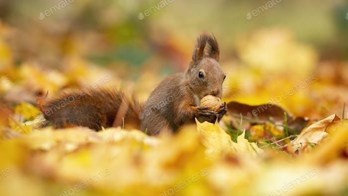 Wachsames rotes Eichhörnchen füttert sich mit einer Walnuss in der Mitte der Herbstblätter