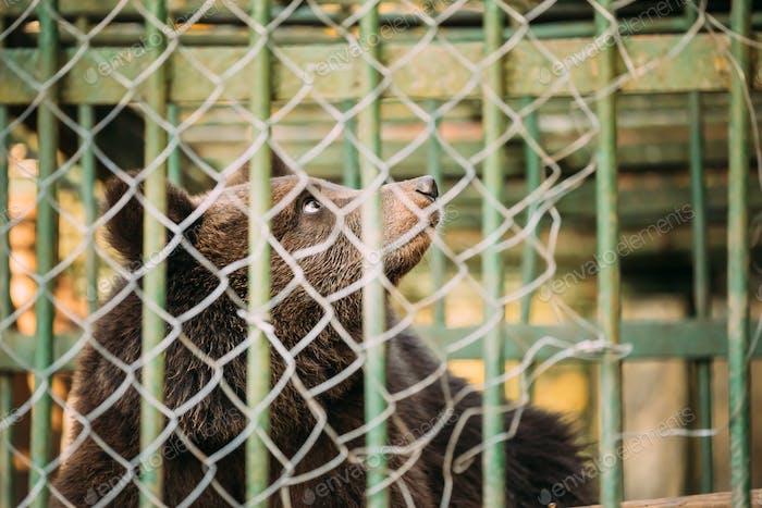 European Eurasian Brown Russian Bear Ursus Arctos Arctos In Cage. Small Teddy Bear