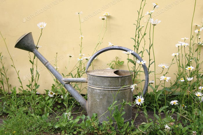 Old sprinkling can between daisies